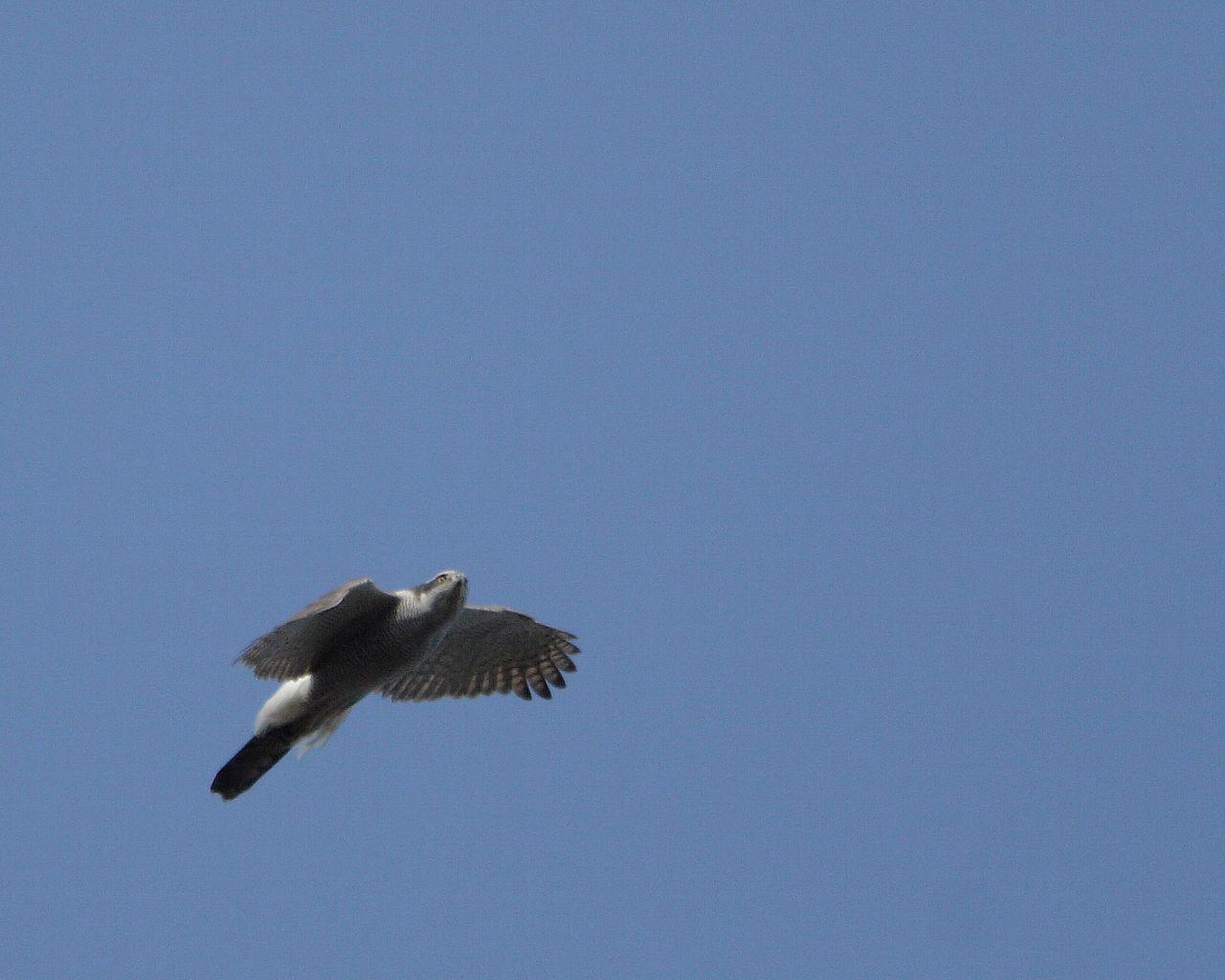 オオタカの飛翔_f0105570_232247100.jpg