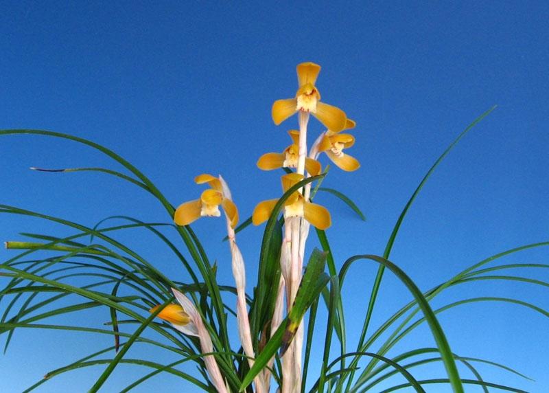 ◆朶朶香から化けた日本春蘭             No.28_d0103457_110305.jpg
