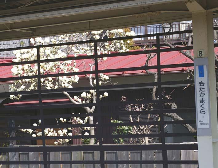 ピンチ!旧小泉邸のハクモクレン(2007・3・10)_c0014967_6422816.jpg