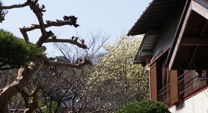 ピンチ!旧小泉邸のハクモクレン(2007・3・10)_c0014967_6433229.jpg