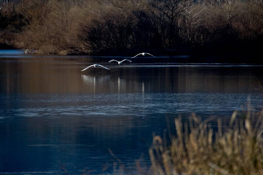 白鳥と鴨のいる風景_b0074098_1454521.jpg