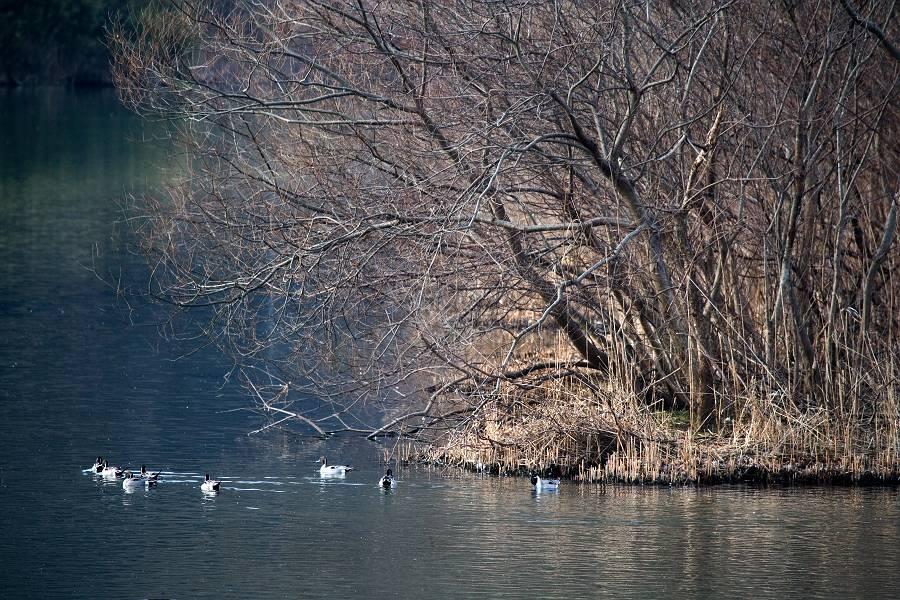 白鳥と鴨のいる風景_b0074098_146133.jpg