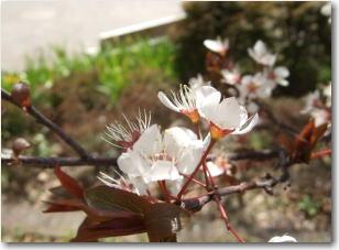 3月14日桜