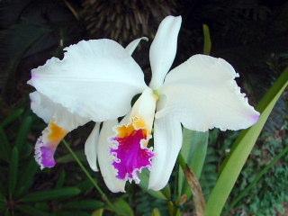 C.mossiae semi alba モッシェ・セミアルバ_d0007501_17501298.jpg