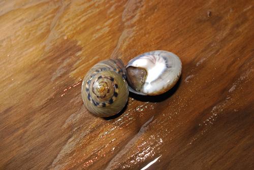 ながらみ/キサゴ......... 美味い貝ですよ!「塩茹で」が堪らん!_d0069838_11114698.jpg