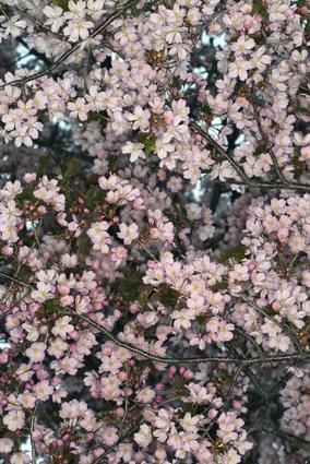 桜_d0111087_8312728.jpg