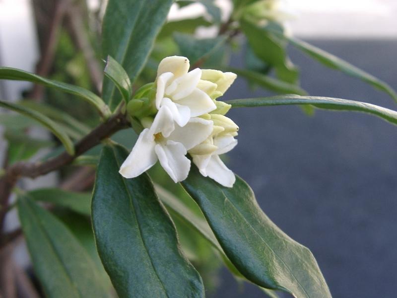 モクレン、菜の花、ジンチョウゲ_a0074069_15424425.jpg