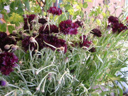 オークリーフ(深く美しい色の花)_f0049672_1285711.jpg