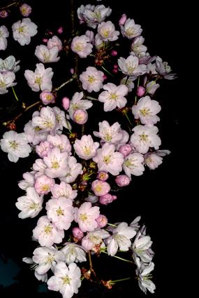 今日も桜とことん桜_d0111087_730750.jpg