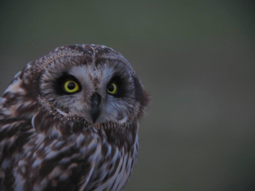コミミズク 猛禽は目が命_a0052080_2032447.jpg