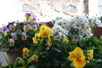 我が家のバルコニー~♪春いっぱい♪~_d0082356_9145425.jpg