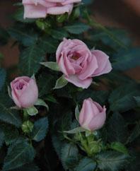春の香り_e0061787_1834346.jpg