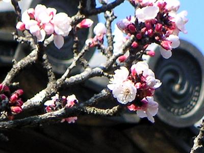 白毫寺の杏の花_b0008289_2150398.jpg