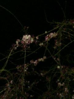 葵の桜は、こんな感じ_e0013944_022029.jpg