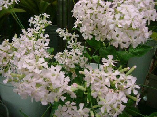 オークリーフ(桜の蕾も膨らんで)_f0049672_12161143.jpg