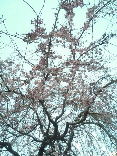 咲いてまちた☆_e0013944_23594571.jpg