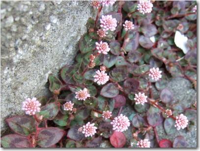 3月23日ゴマみたいな花