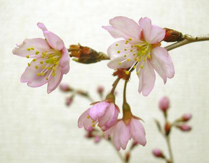 3月23日 桜模様_a0001354_21144247.jpg