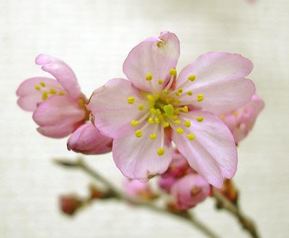 3月23日 桜模様_a0001354_2115067.jpg