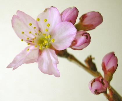3月23日 桜模様_a0001354_2115149.jpg