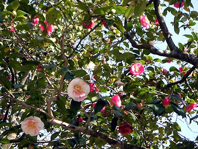 白毫寺の椿(春分の日)_b0008289_214463.jpg
