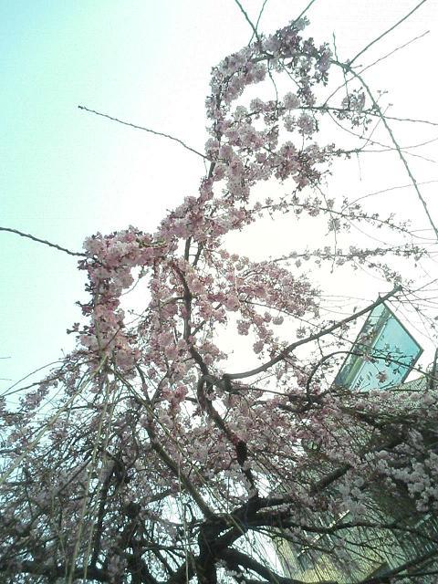 咲いてまちた☆_e0013944_010269.jpg