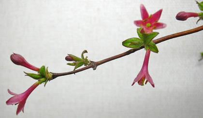 3月25日 ミヤマウグイスカグラ_a0001354_23311532.jpg