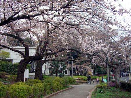 桜便り。_a0026127_1593988.jpg