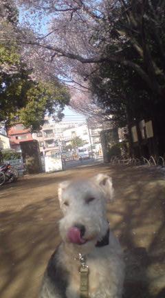 桜満開_c0099133_161444.jpg