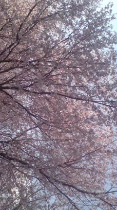 桜満開_c0099133_165749.jpg