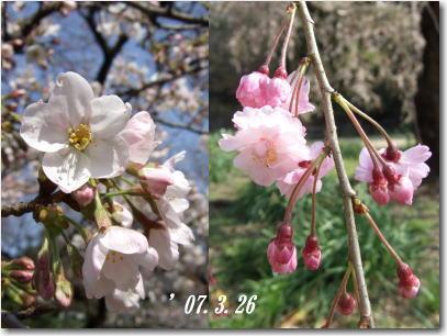 3月26日新宿御苑さくら