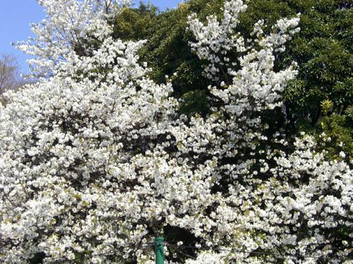 桜便り+…。_a0026127_18183673.jpg