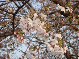 夜桜ツーリング_f0073343_17323730.jpg