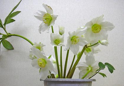3月28日 びっくりするほど咲きました。_a0001354_2223450.jpg
