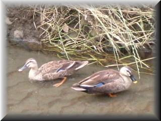 近くの川で泳いでいた鴨