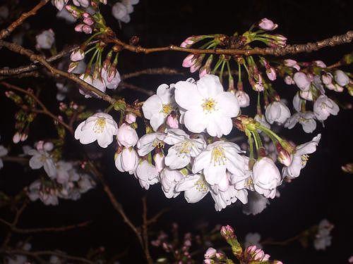 夜桜を楽しむ夕べ。。。ホテルグランドパレス☆..。.゚。*・。♡ _a0053662_084467.jpg