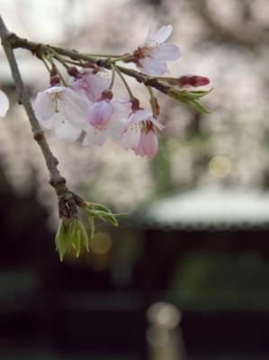 東漸寺のしだれ桜_f0018464_640969.jpg