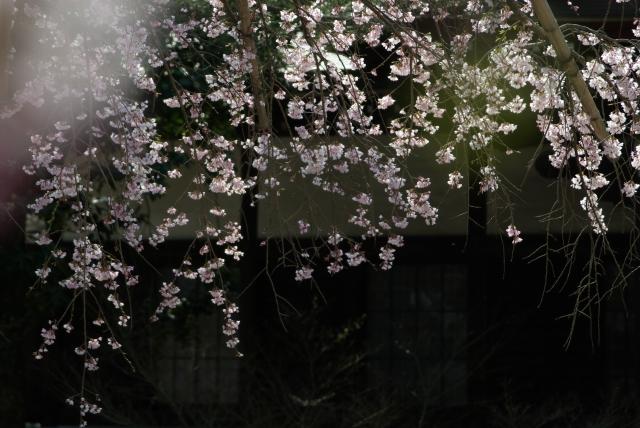東漸寺のしだれ桜_f0018464_658926.jpg