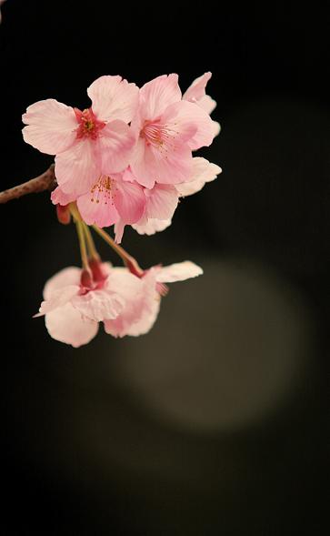 陽光桜_e0071967_22341796.jpg