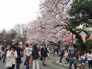 今日はいよいよ春たけなわの季節となり上野の桜は8分咲き。人出も最高、かど... 春うらら・・・オ