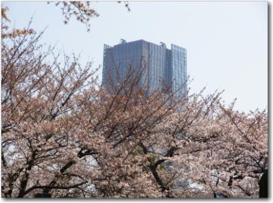 3月29日青山霊園の桜