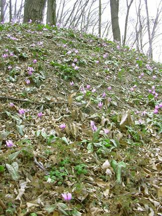 3月29日 稲荷山のカタクリの花_a0001354_17493742.jpg