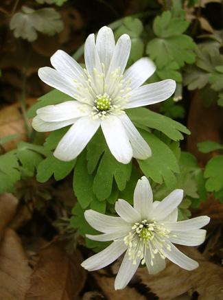 3月29日 稲荷山のカタクリの花_a0001354_17511849.jpg