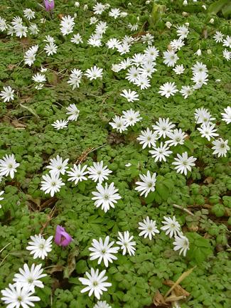 3月29日 稲荷山のカタクリの花_a0001354_17513556.jpg