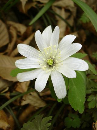 3月29日 稲荷山のカタクリの花_a0001354_1751711.jpg