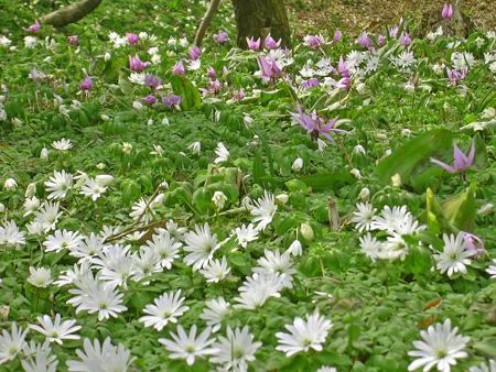 3月29日 稲荷山のカタクリの花_a0001354_17522021.jpg