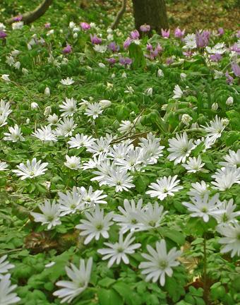 3月29日 稲荷山のカタクリの花_a0001354_1752870.jpg