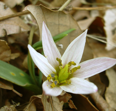 3月29日 稲荷山のカタクリの花_a0001354_17532017.jpg