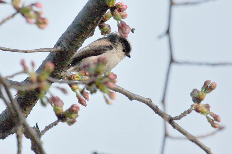 桜にエナガ_b0024798_9281240.jpg