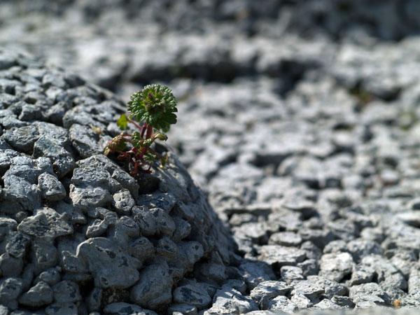 岩場の高山植物ではないが、、、その4_a0037907_2155404.jpg